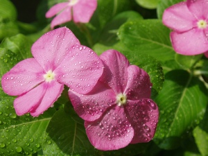 flickr user SteveSloj. Funny how growing impatiens takes patience!